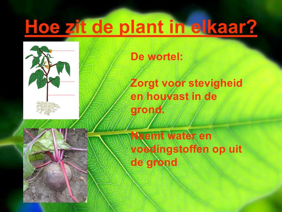 Hoe zit de plant in elkaar? De wortel: Zorgt voor stevigheid en houvast in de grond. Neemt water en voedingstoffen op uit de grond