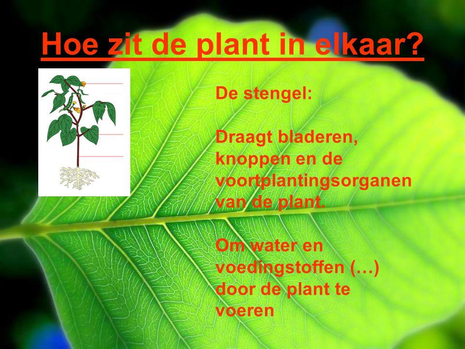 Hoe zit de plant in elkaar? De stengel: Draagt bladeren, knoppen en de voortplantingsorganen van de plant. Om water en voedingstoffen (…) door de plan