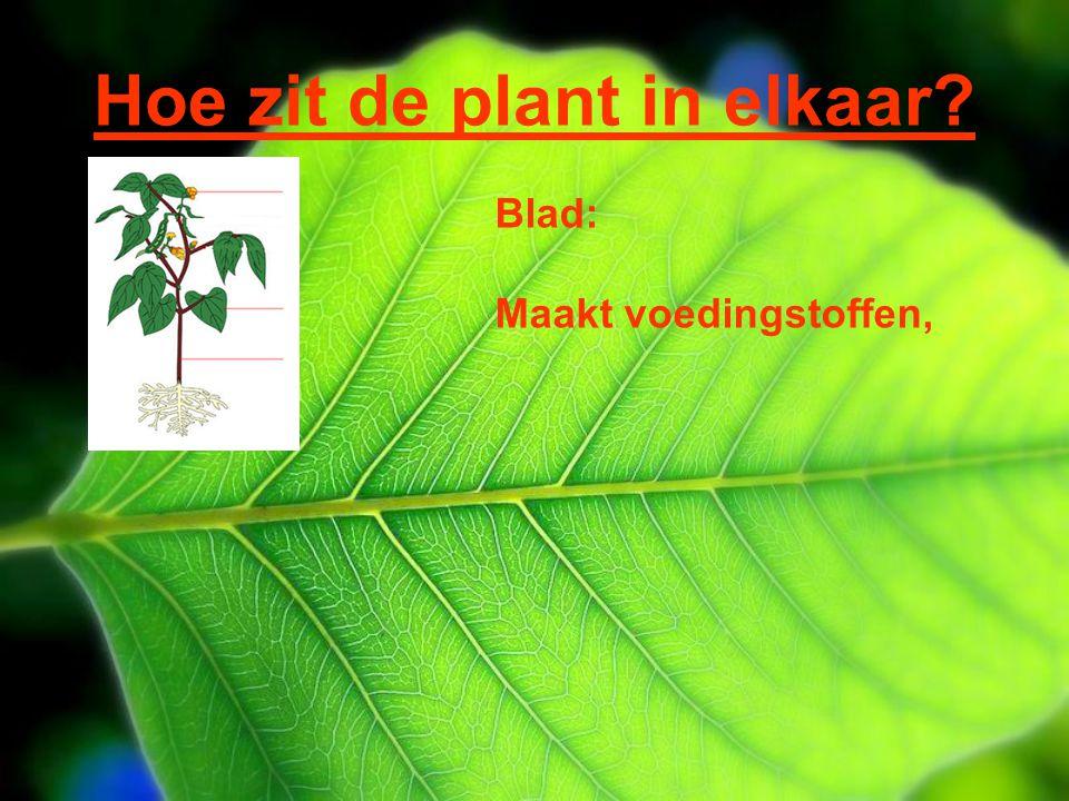 Hoe zit de plant in elkaar? Blad: Maakt voedingstoffen,