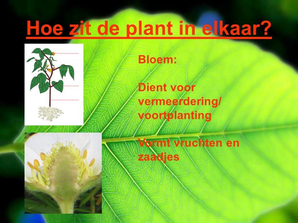 Hoe zit de plant in elkaar? Bloem: Dient voor vermeerdering/ voortplanting Vormt vruchten en zaadjes