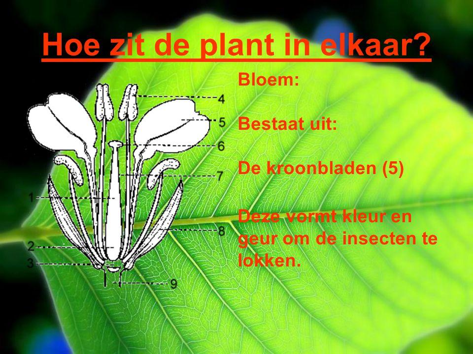 Hoe zit de plant in elkaar? Bloem: Bestaat uit: De kroonbladen (5) Deze vormt kleur en geur om de insecten te lokken.
