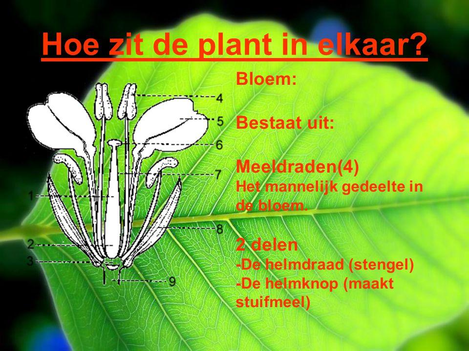 Hoe zit de plant in elkaar? Bloem: Bestaat uit: Meeldraden(4) Het mannelijk gedeelte in de bloem. 2 delen -De helmdraad (stengel) -De helmknop (maakt