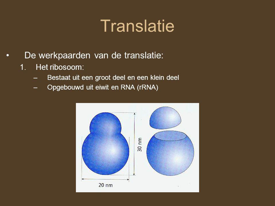 Translatie De werkpaarden van de translatie: 1.Het ribosoom: –Bestaat uit een groot deel en een klein deel –Opgebouwd uit eiwit en RNA (rRNA)