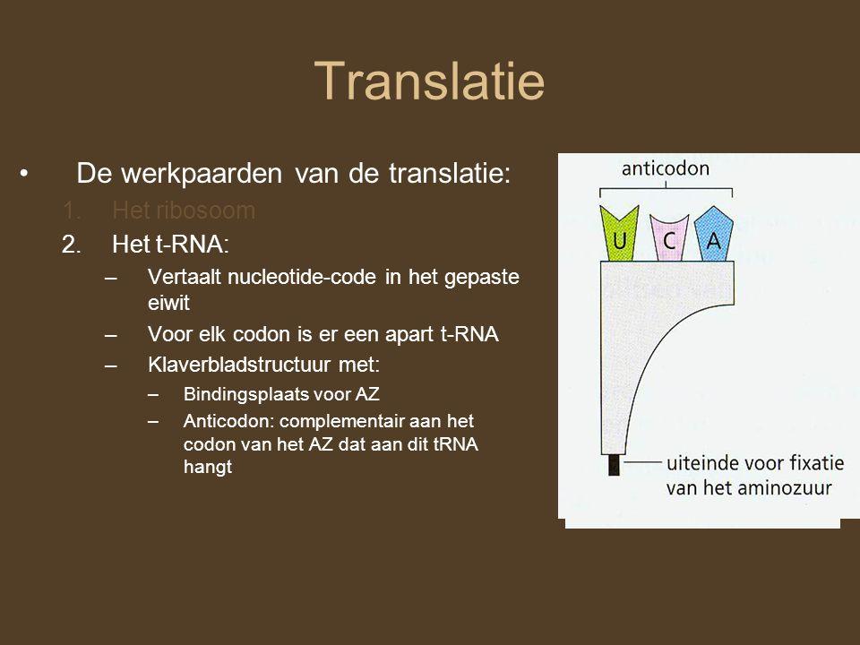 Translatie De werkpaarden van de translatie: 1.Het ribosoom 2.Het t-RNA: –Vertaalt nucleotide-code in het gepaste eiwit –Voor elk codon is er een apar