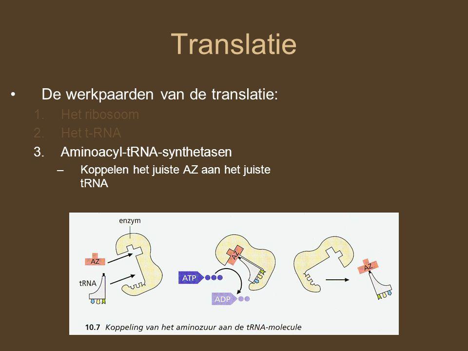 Translatie De werkpaarden van de translatie: 1.Het ribosoom 2.Het t-RNA 3.Aminoacyl-tRNA-synthetasen –Koppelen het juiste AZ aan het juiste tRNA