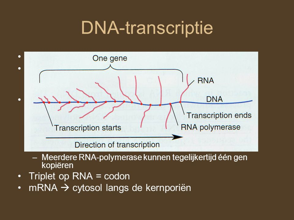 DNA-transcriptie DNA  messenger RNA (mRNA) RNA: –Ribose ipv Deoxyribose –Uracyl ipv Thymine RNA-polymerase: –Bouwt RNA op basis van DNA Op basis van complementariteitsregels 5'  3' –Start.