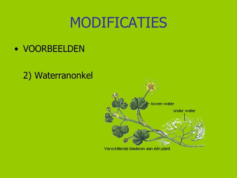 MODIFICATIES VOORBEELDEN 3) Patella sp.