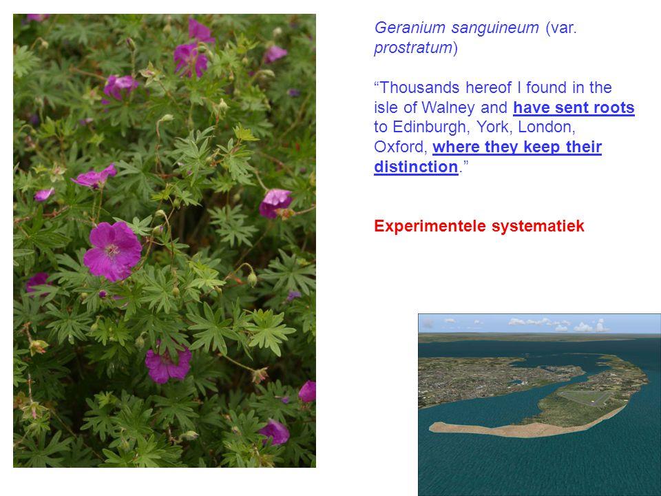 Geranium sanguineum (var.