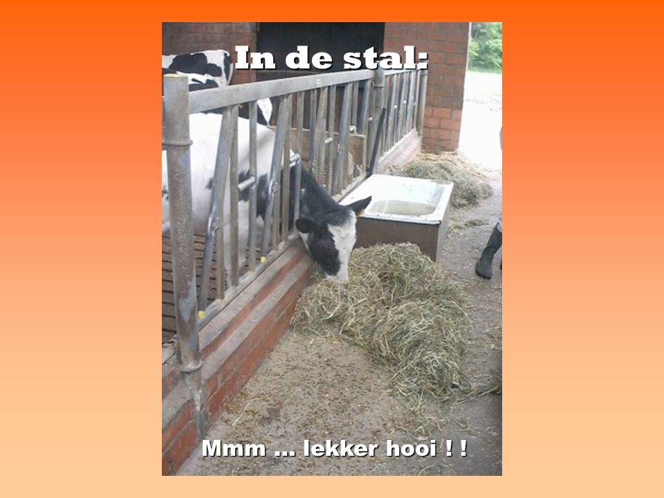 De melkstal: hier worden de koeien gemolken met de melkmachine.