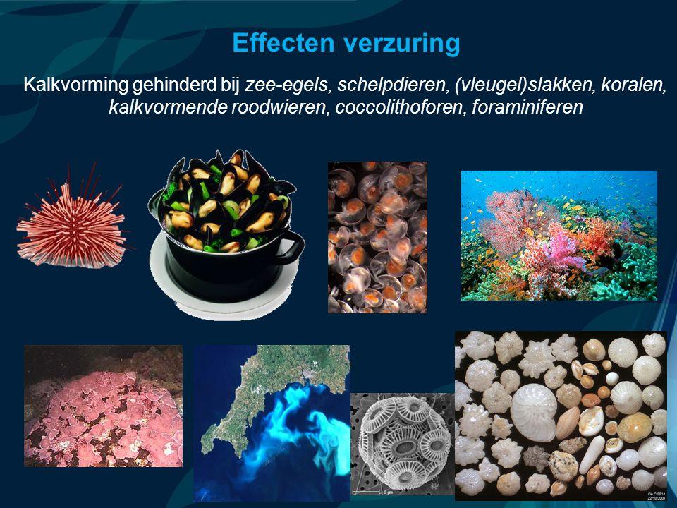 VormingPlus Oostende 29 april 08 Effecten verzuring Kalkvorming gehinderd bij zee-egels, schelpdieren, (vleugel)slakken, koralen, kalkvormende roodwieren, coccolithoforen, foraminiferen