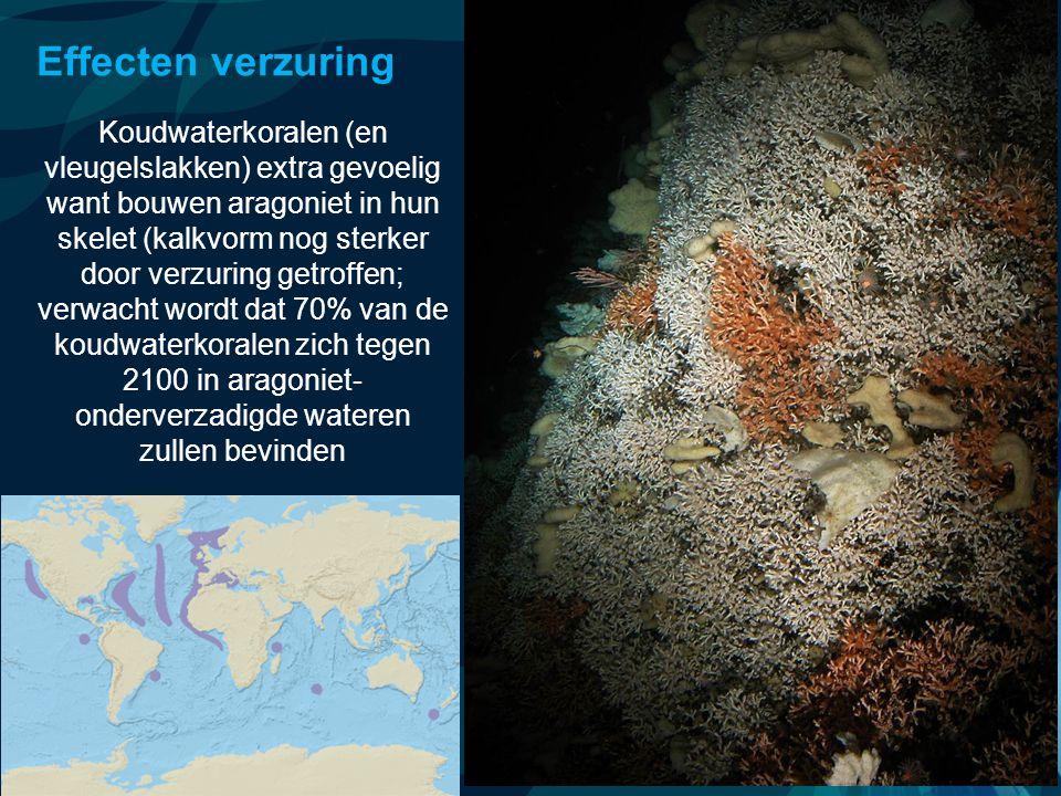 VormingPlus Oostende 29 april 08 Effecten verzuring Koudwaterkoralen (en vleugelslakken) extra gevoelig want bouwen aragoniet in hun skelet (kalkvorm
