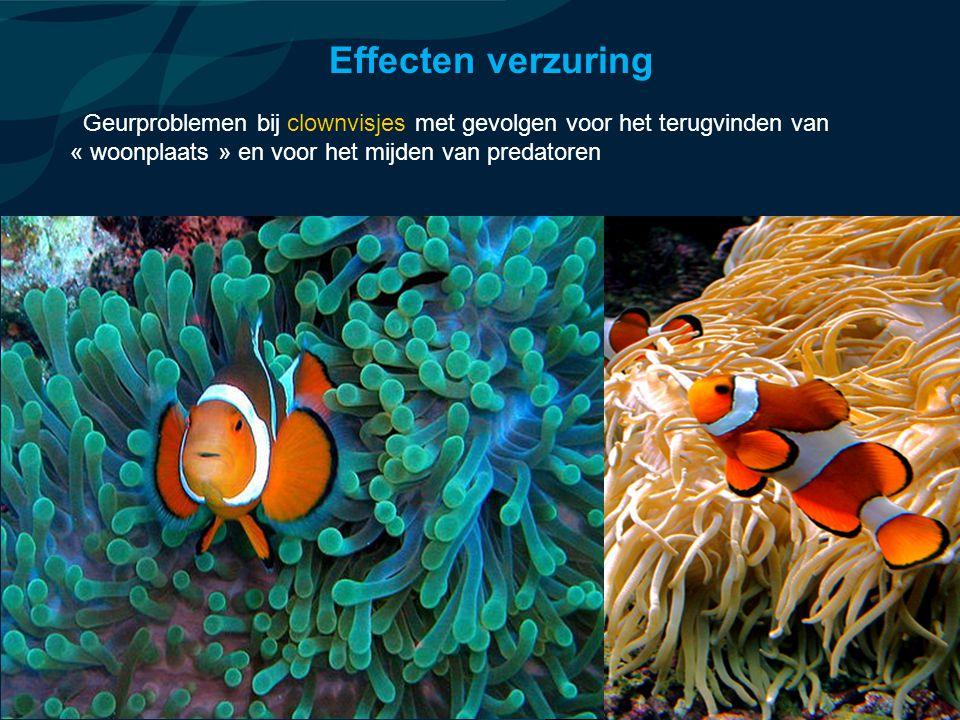 VormingPlus Oostende 29 april 08 Geurproblemen bij clownvisjes met gevolgen voor het terugvinden van « woonplaats » en voor het mijden van predatoren