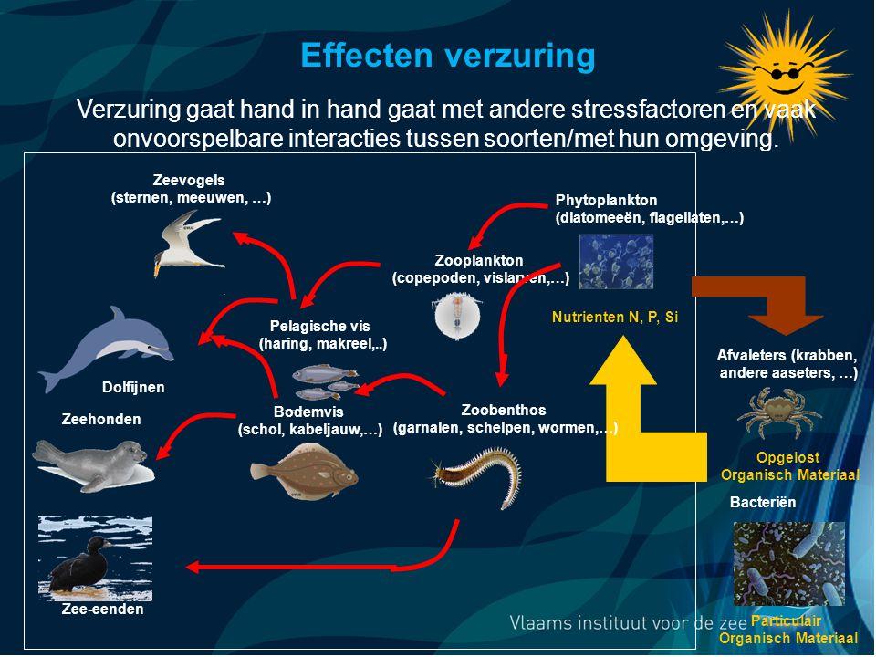VormingPlus Oostende 29 april 08 Dolfijnen Zooplankton (copepoden, vislarven,…) Pelagische vis (haring, makreel,..) Zeevogels (sternen, meeuwen, …) Particulair Organisch Materiaal Opgelost Organisch Materiaal Afvaleters (krabben, andere aaseters, …) Phytoplankton (diatomeeën, flagellaten,…) Nutrienten N, P, Si Bacteriën Zeehonden Zee-eenden Bodemvis (schol, kabeljauw,…) Zoobenthos (garnalen, schelpen, wormen,…) Effecten verzuring Verzuring gaat hand in hand gaat met andere stressfactoren en vaak onvoorspelbare interacties tussen soorten/met hun omgeving.