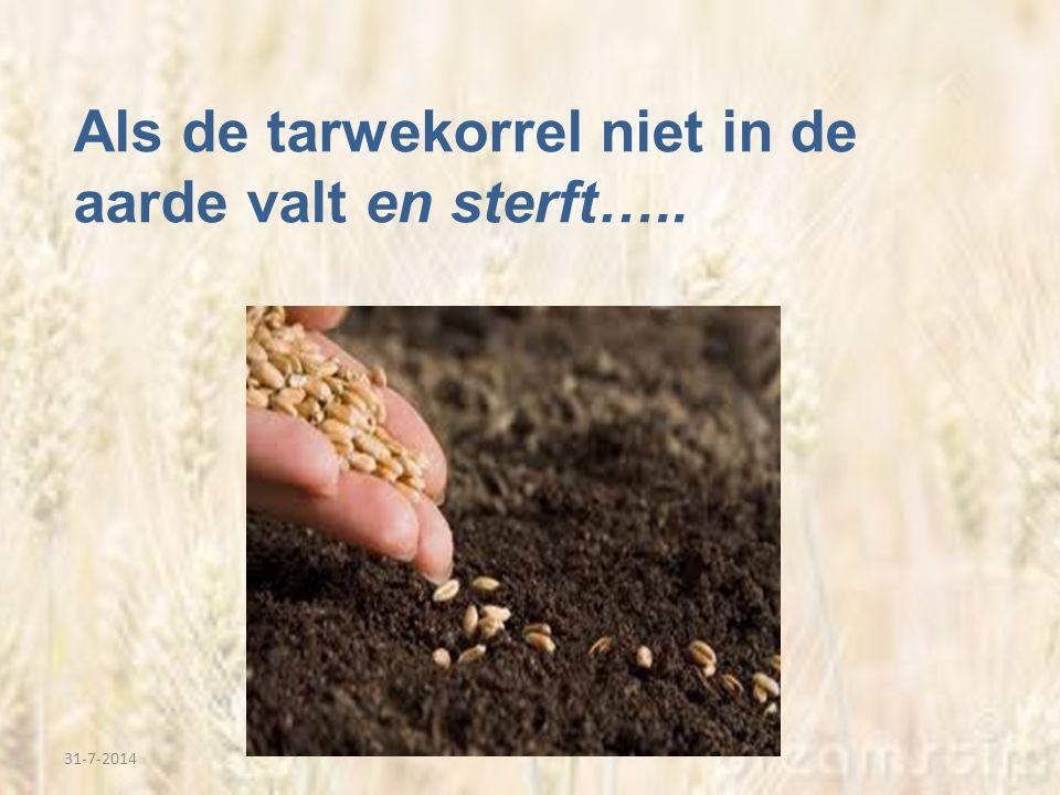 31-7-2014 Als de tarwekorrel niet in de aarde valt en sterft…..