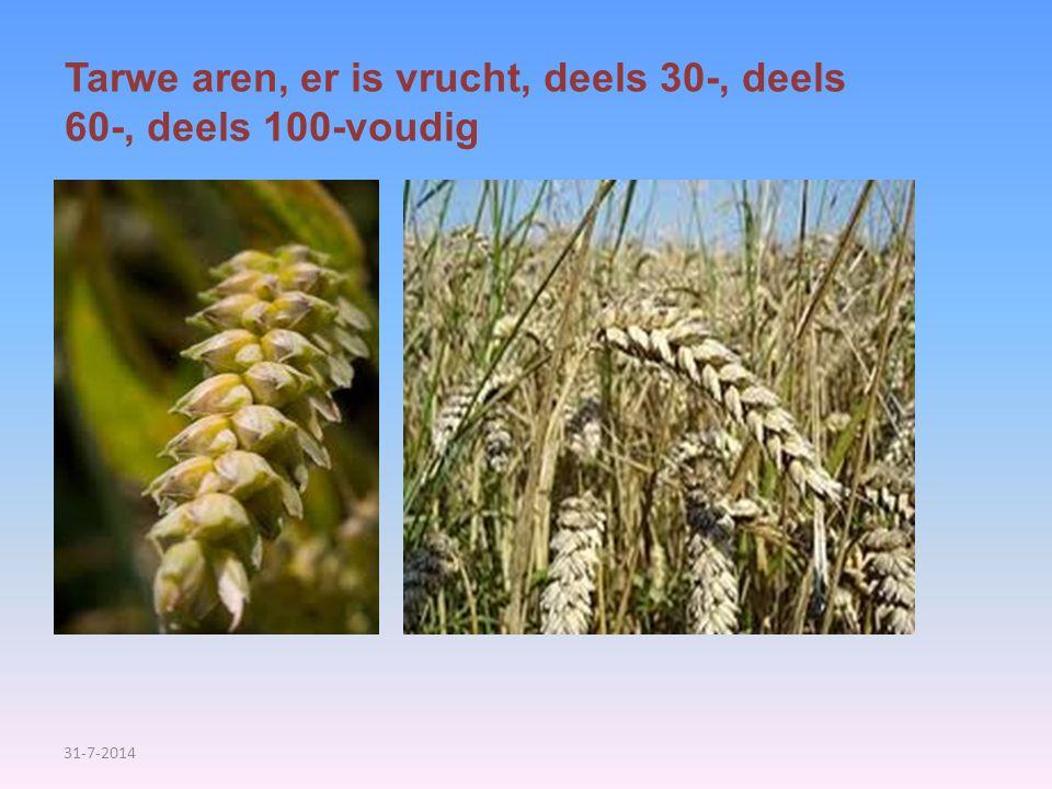 31-7-2014 Tarwe aren, er is vrucht, deels 30-, deels 60-, deels 100-voudig