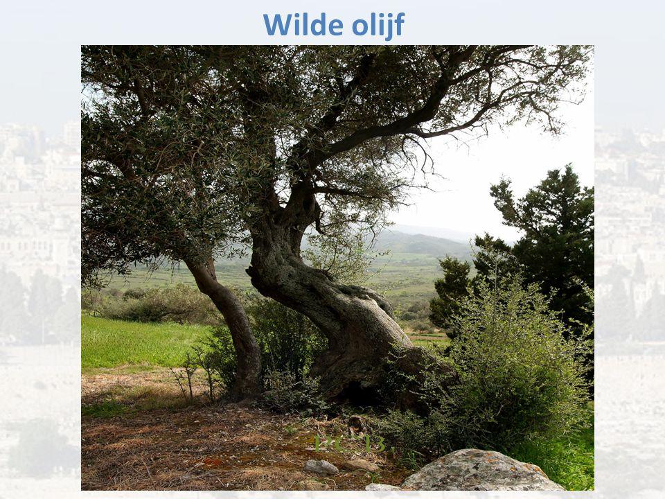 Wilde olijf