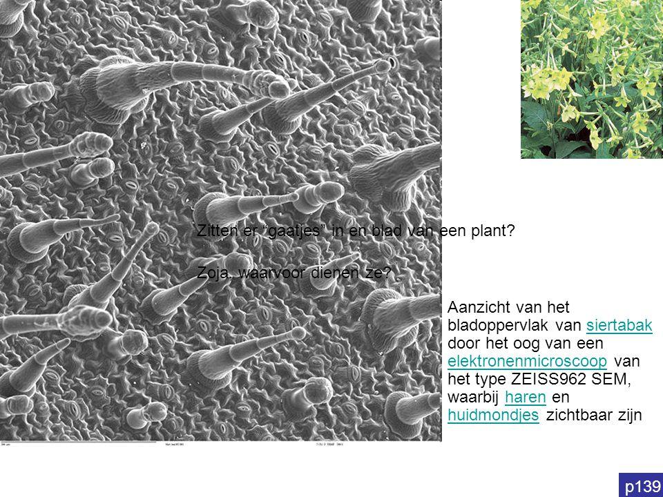 Aanzicht van het bladoppervlak van siertabak door het oog van een elektronenmicroscoop van het type ZEISS962 SEM, waarbij haren en huidmondjes zichtba