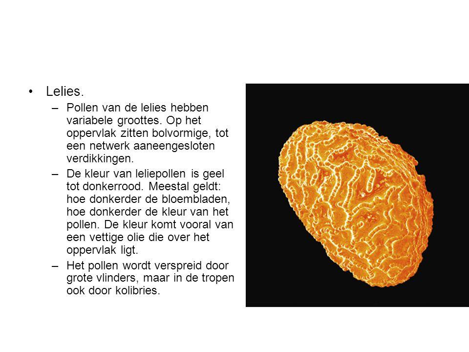 Lelies. –Pollen van de lelies hebben variabele groottes. Op het oppervlak zitten bolvormige, tot een netwerk aaneengesloten verdikkingen. –De kleur va