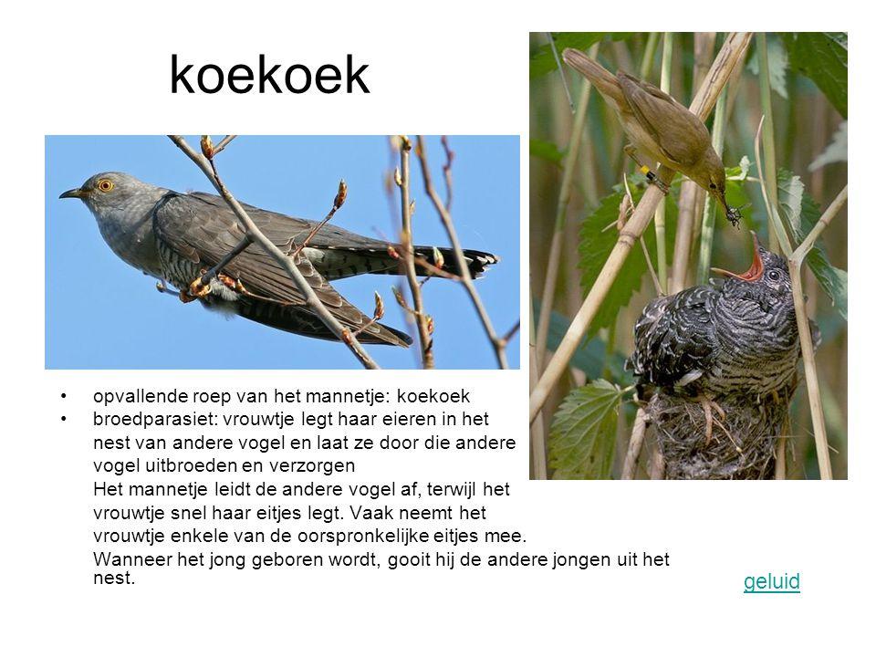 koekoek opvallende roep van het mannetje: koekoek broedparasiet: vrouwtje legt haar eieren in het nest van andere vogel en laat ze door die andere vog