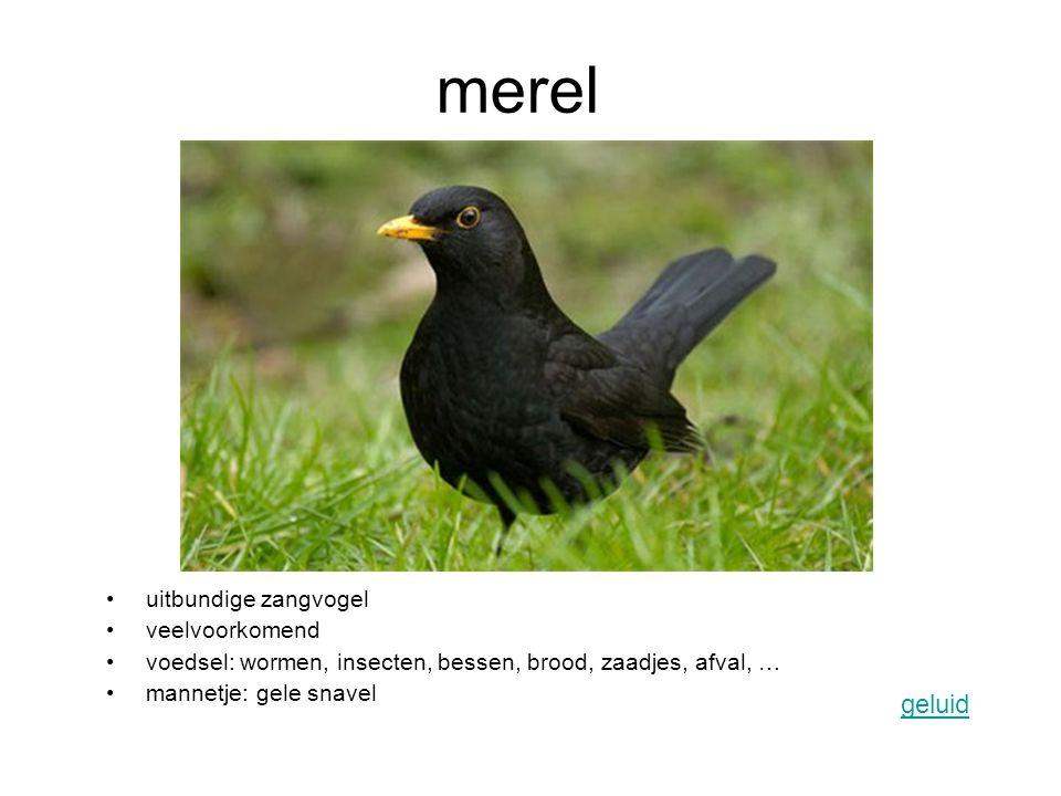 merel uitbundige zangvogel veelvoorkomend voedsel: wormen, insecten, bessen, brood, zaadjes, afval, … mannetje: gele snavel geluid