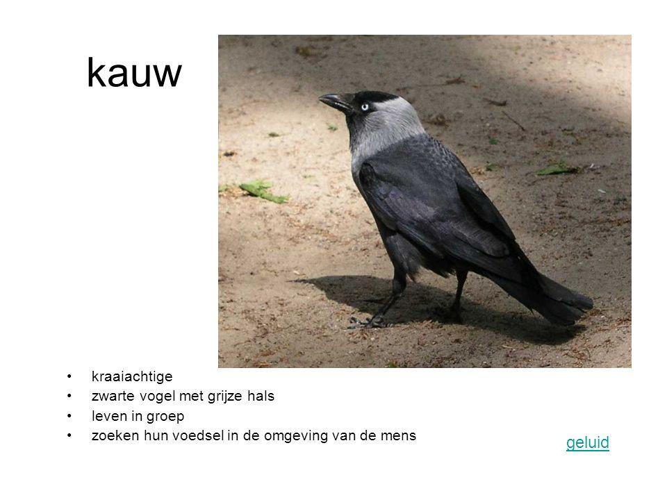kraaiachtige zwarte vogel met grijze hals leven in groep zoeken hun voedsel in de omgeving van de mens geluid kauw