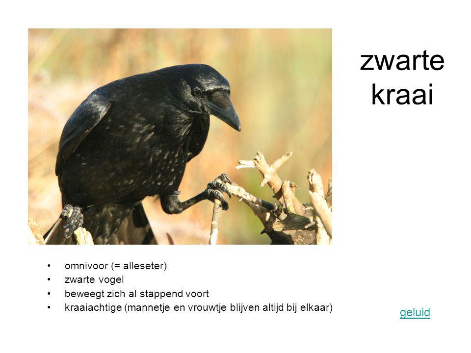 omnivoor (= alleseter) zwarte vogel beweegt zich al stappend voort kraaiachtige (mannetje en vrouwtje blijven altijd bij elkaar) geluid zwarte kraai