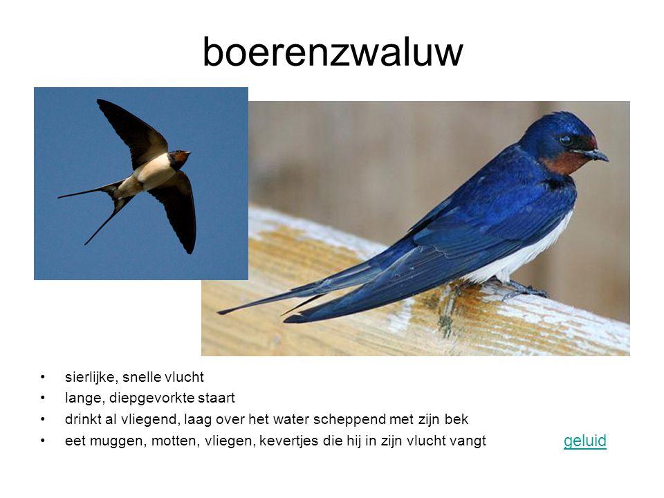 scholekster komt vooral voor in Nederland steltloper geluid