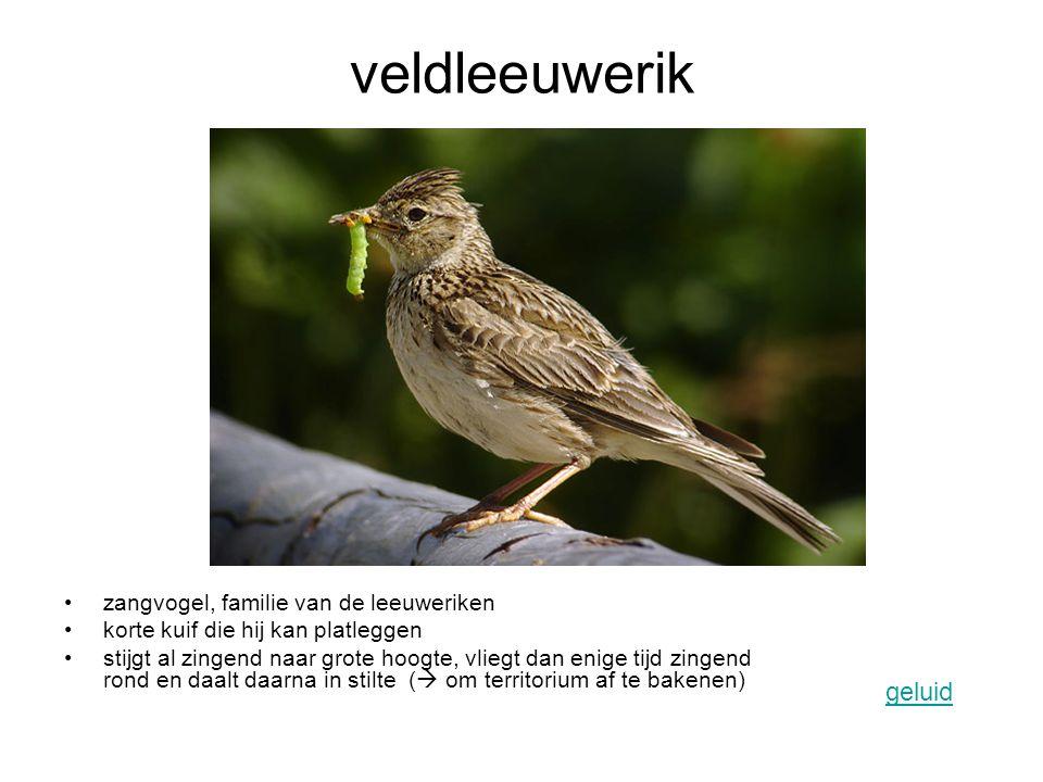 roodborstje zangvogel deels trekvogels, deels overwinteraars durft dicht bij mensen te komen opvallend bruinrode keel geluid