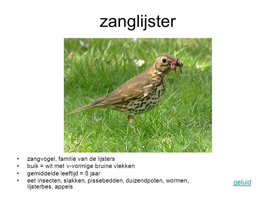 zanglijster zangvogel, familie van de lijsters buik = wit met v-vormige bruine vlekken gemiddelde leeftijd = 5 jaar eet insecten, slakken, pissebedden