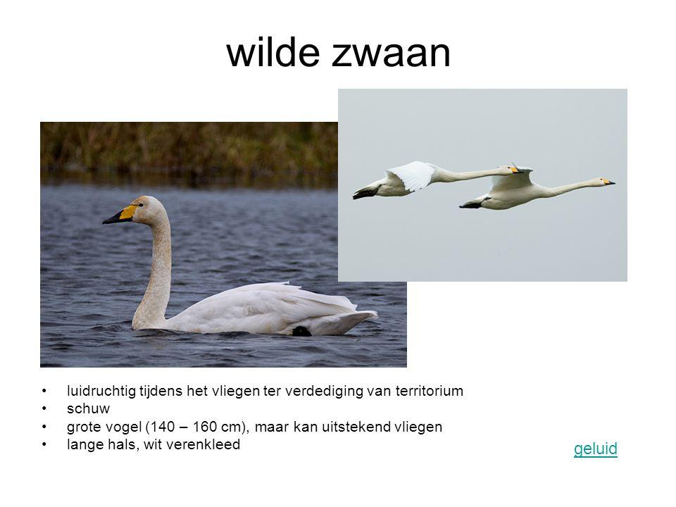 wilde zwaan luidruchtig tijdens het vliegen ter verdediging van territorium schuw grote vogel (140 – 160 cm), maar kan uitstekend vliegen lange hals,