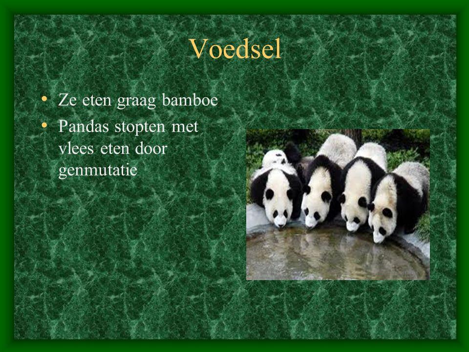 Voedsel Ze eten graag bamboe Pandas stopten met vlees eten door genmutatie