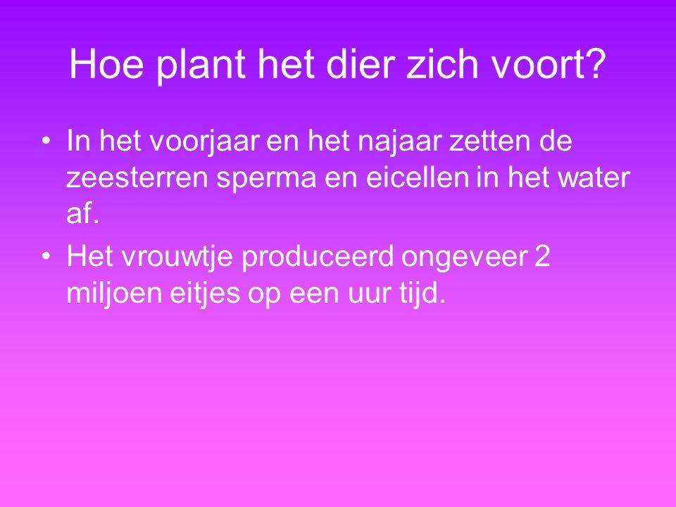 Hoe plant het dier zich voort? In het voorjaar en het najaar zetten de zeesterren sperma en eicellen in het water af. Het vrouwtje produceerd ongeveer