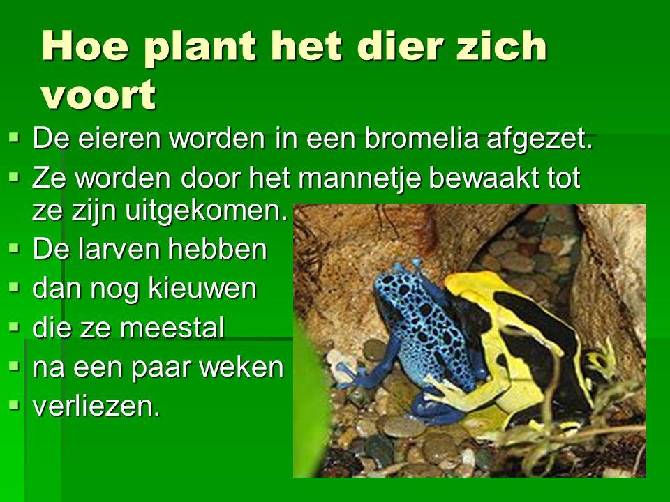 Hoe plant het dier zich voort  De eieren worden in een bromelia afgezet.  Ze worden door het mannetje bewaakt tot ze zijn uitgekomen.  De larven he