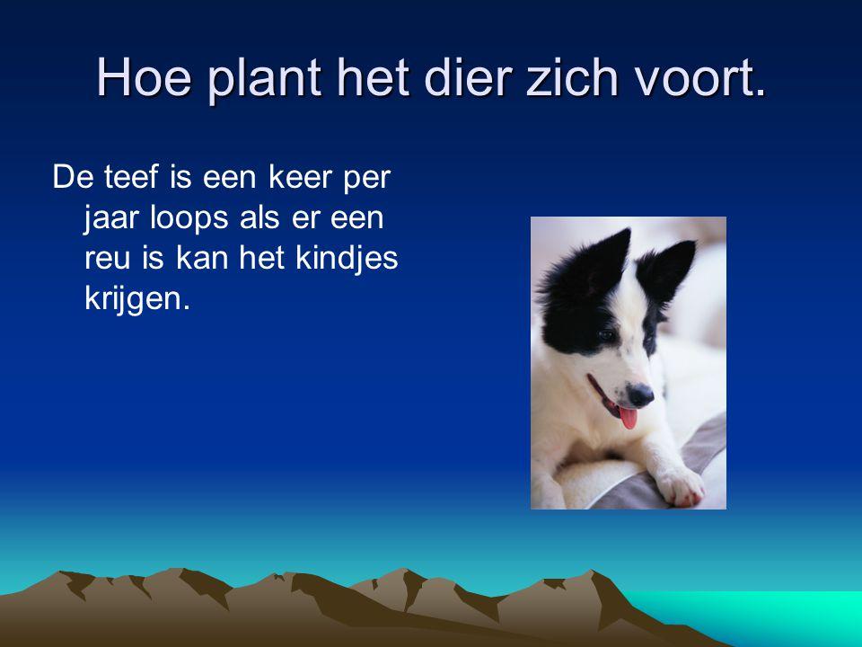 Hoe plant het dier zich voort. De teef is een keer per jaar loops als er een reu is kan het kindjes krijgen.