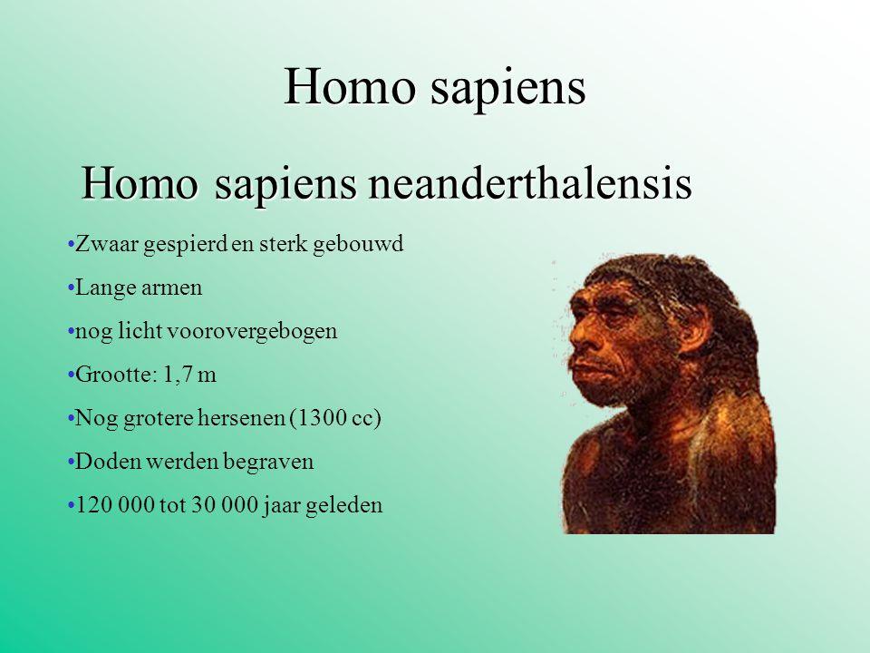 Homosapiens Homo sapiens Homo sapiens neanderthalensis Zwaar gespierd en sterk gebouwd Lange armen nog licht voorovergebogen Grootte: 1,7 m Nog groter