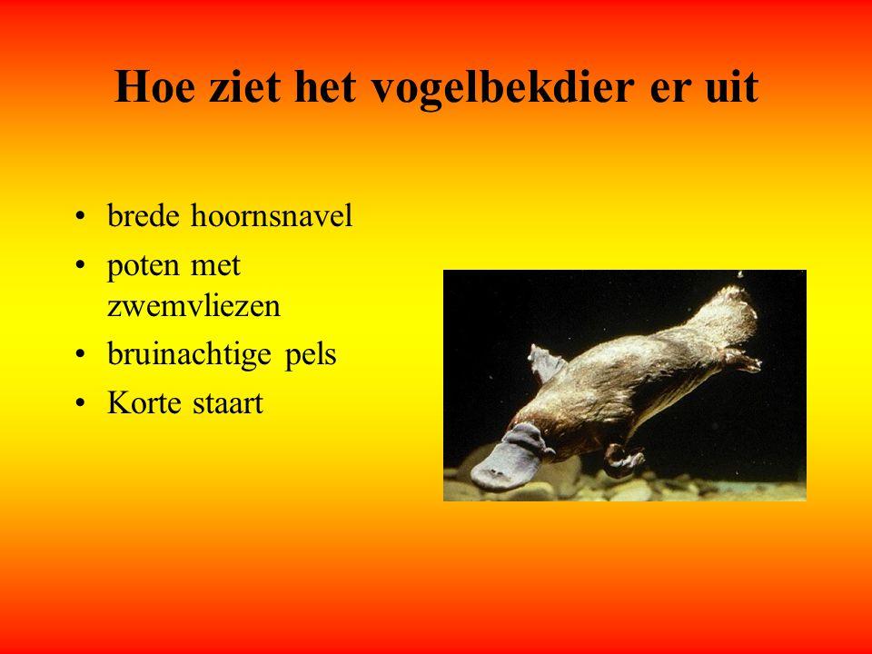 Wat eet het vogelbekdier Kikkers kikkerdril Kreeftjes Garnalen waterinsecten, waterslakken,...