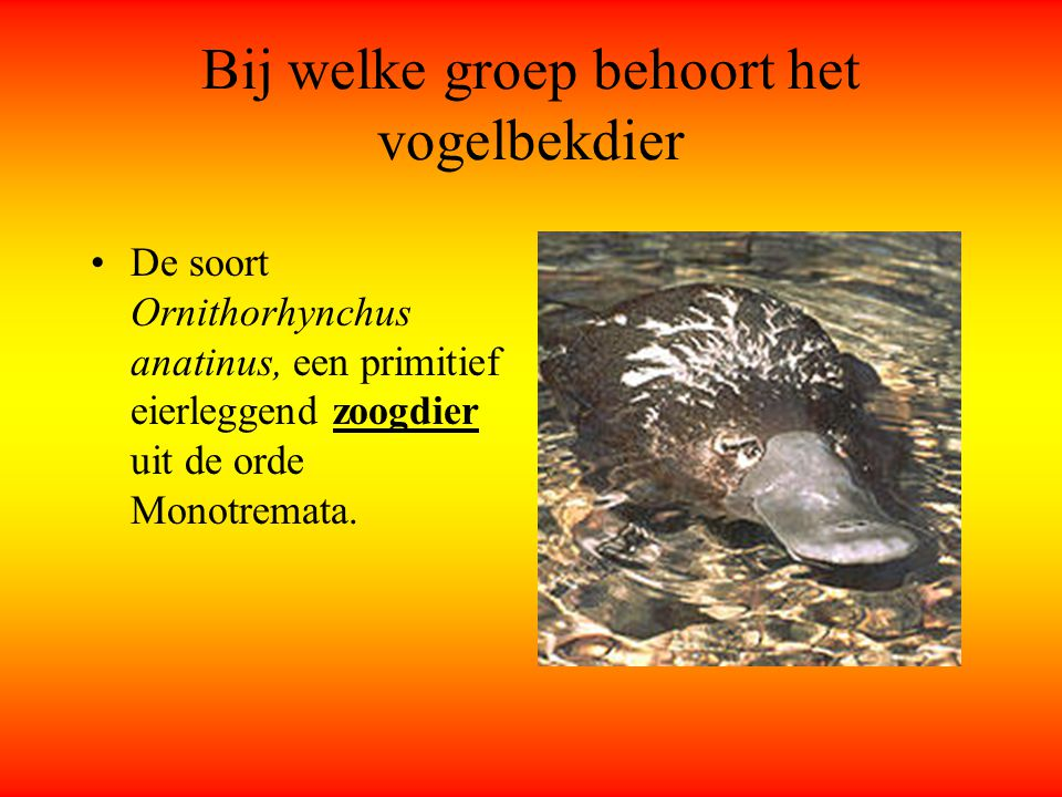 Bij welke groep behoort het vogelbekdier De soort Ornithorhynchus anatinus, een primitief eierleggend zoogdier uit de orde Monotremata.
