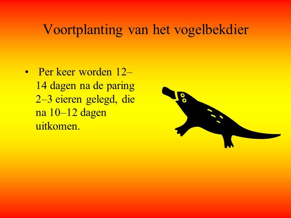 Voortplanting van het vogelbekdier Per keer worden 12– 14 dagen na de paring 2–3 eieren gelegd, die na 10–12 dagen uitkomen.