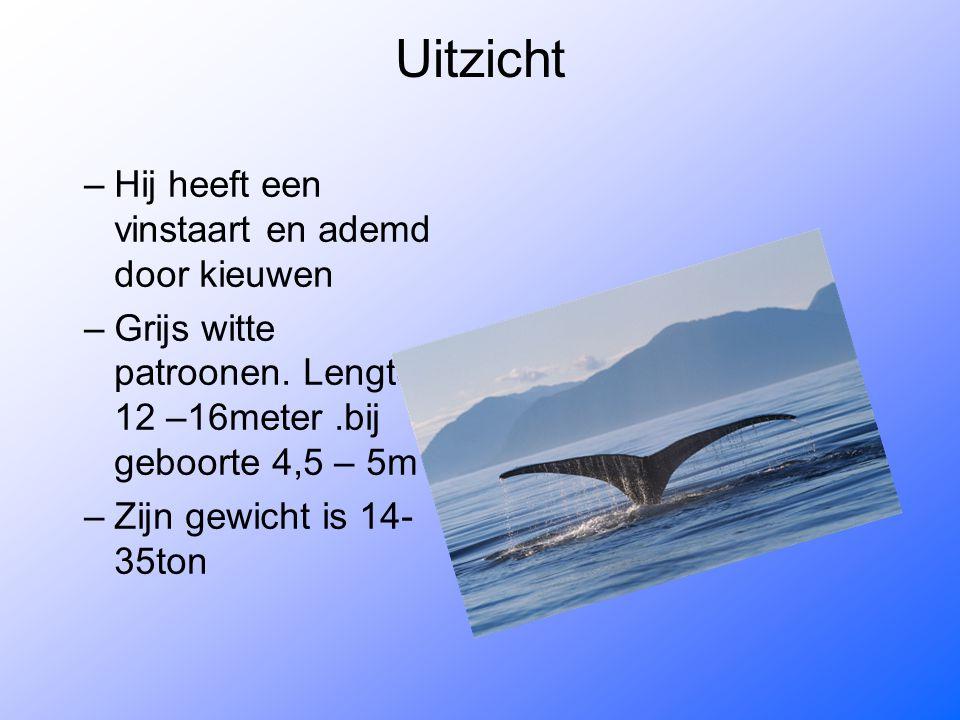 Uitzicht –Hij heeft een vinstaart en ademd door kieuwen –Grijs witte patroonen. Lengte 12 –16meter.bij geboorte 4,5 – 5m –Zijn gewicht is 14- 35ton