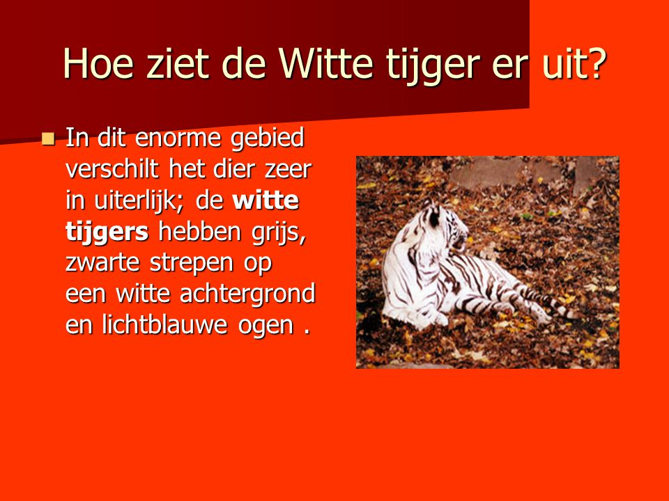 Hoe ziet de Witte tijger er uit? In dit enorme gebied verschilt het dier zeer in uiterlijk; de witte tijgers hebben grijs, zwarte strepen op een witte