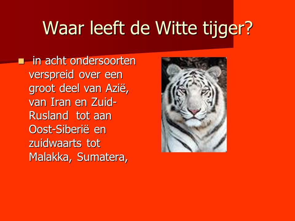 Waar leeft de Witte tijger? in acht ondersoorten verspreid over een groot deel van Azië, van Iran en Zuid- Rusland tot aan Oost-Siberië en zuidwaarts
