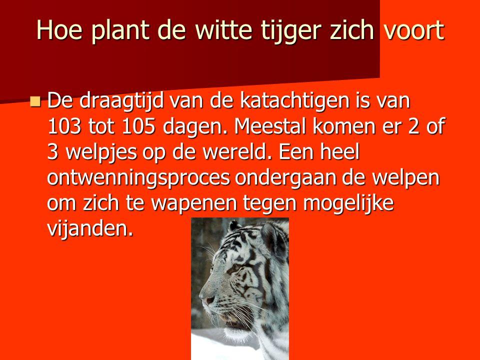 Hoe plant de witte tijger zich voort De draagtijd van de katachtigen is van 103 tot 105 dagen. Meestal komen er 2 of 3 welpjes op de wereld. Een heel