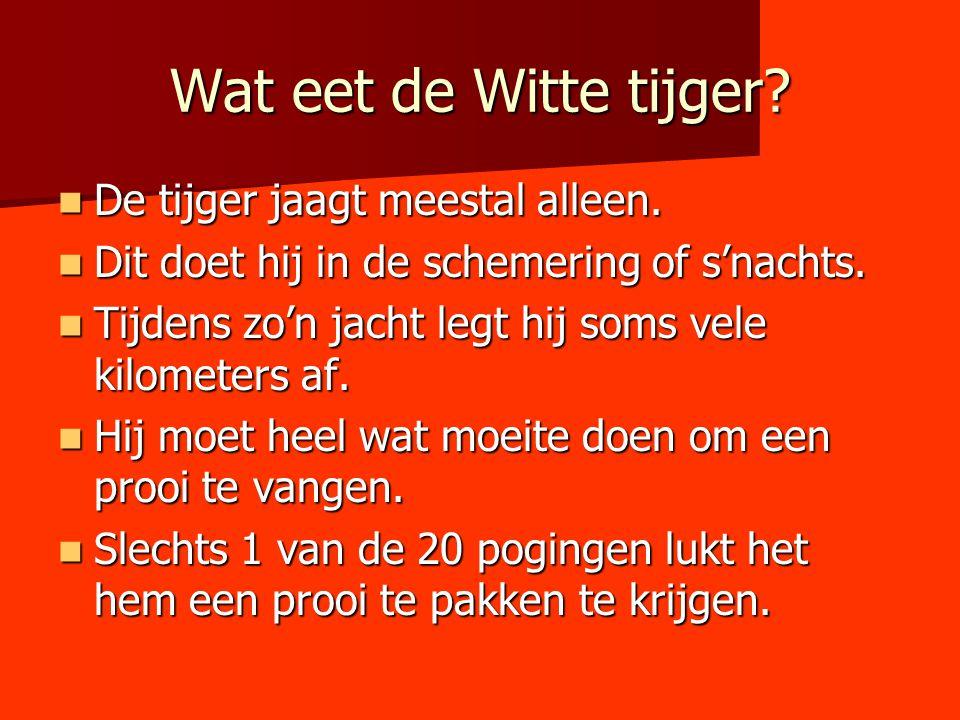 Wat eet de Witte tijger? De tijger jaagt meestal alleen. De tijger jaagt meestal alleen. Dit doet hij in de schemering of s'nachts. Dit doet hij in de