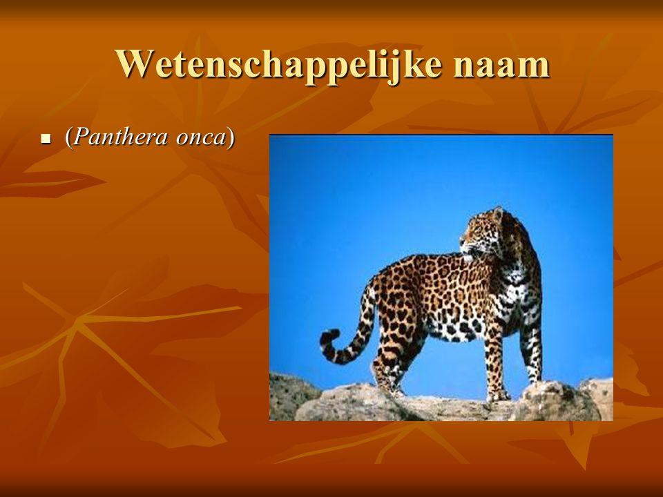Hoe ziet de jaguar er uit De jaguar is geel oranje met zwarte vlekken De jaguar is geel oranje met zwarte vlekken Lengte: kop-romp 110-190 cm, staart 45-91 cm, schouderhoogte 65-80 cm.