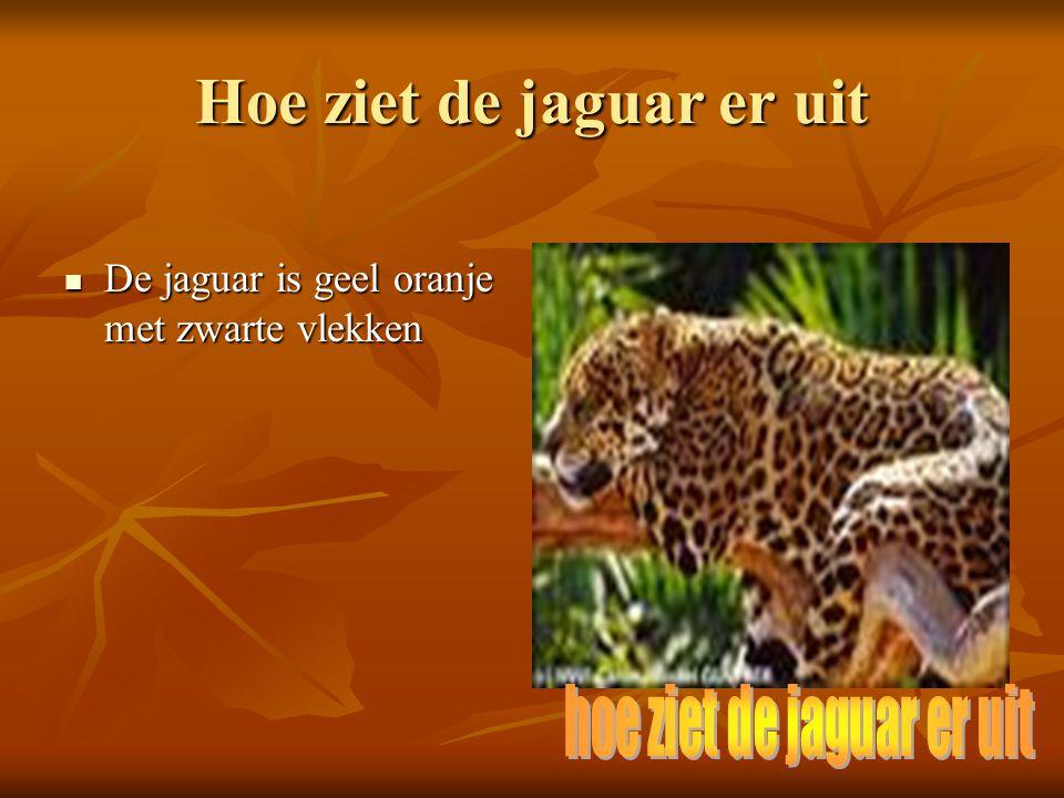 Hoe ziet de jaguar er uit De jaguar is geel oranje met zwarte vlekken De jaguar is geel oranje met zwarte vlekken Lengte: kop-romp 110-190 cm, staart