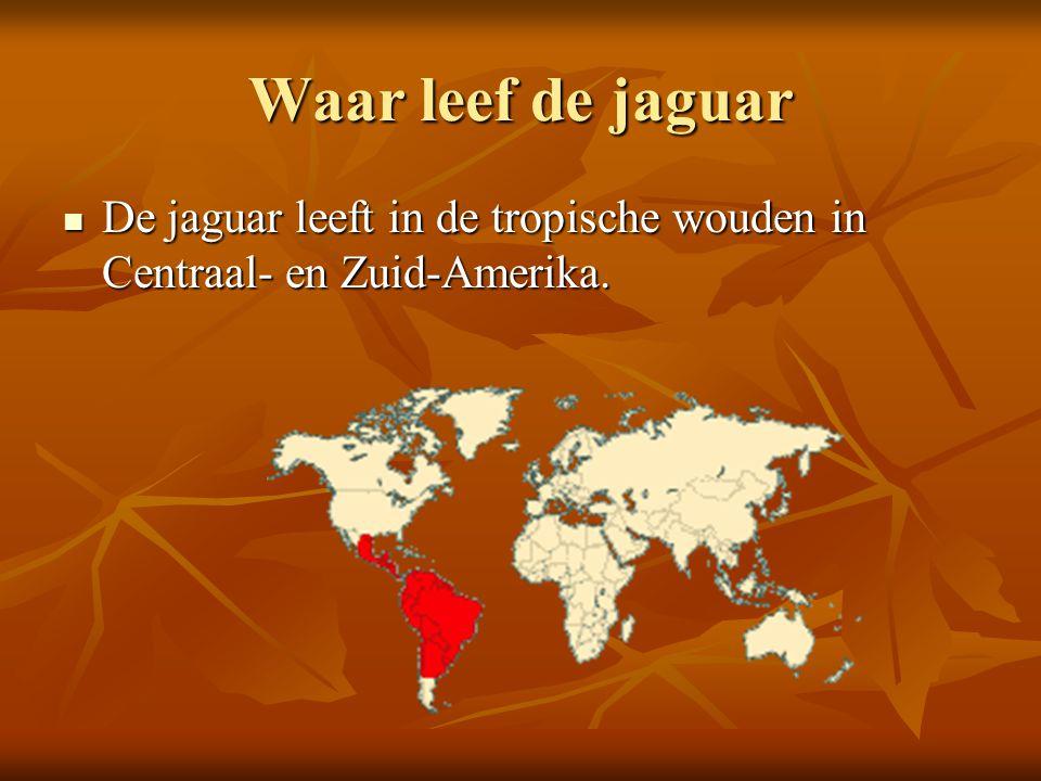 Waar leef de jaguar De jaguar leeft in de tropische wouden in Centraal- en Zuid-Amerika. De jaguar leeft in de tropische wouden in Centraal- en Zuid-A