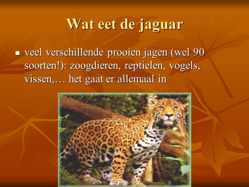 Wat eet de jaguar veel verschillende prooien jagen (wel 90 soorten!): zoogdieren, reptielen, vogels, vissen,… het gaat er allemaal in veel verschillen