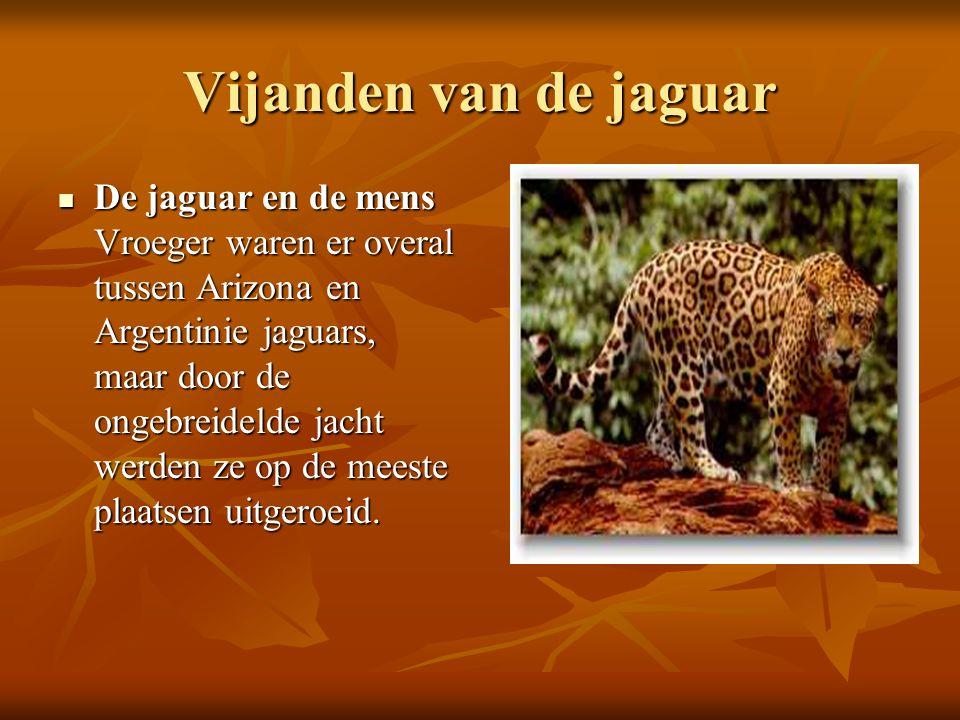 Vijanden van de jaguar De jaguar en de mens Vroeger waren er overal tussen Arizona en Argentinie jaguars, maar door de ongebreidelde jacht werden ze o