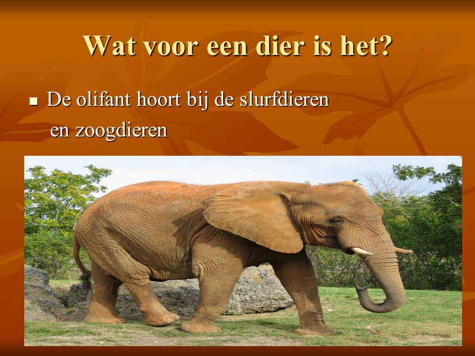 Wat voor een dier is het? De olifant hoort bij de slurfdieren De olifant hoort bij de slurfdieren en zoogdieren en zoogdieren