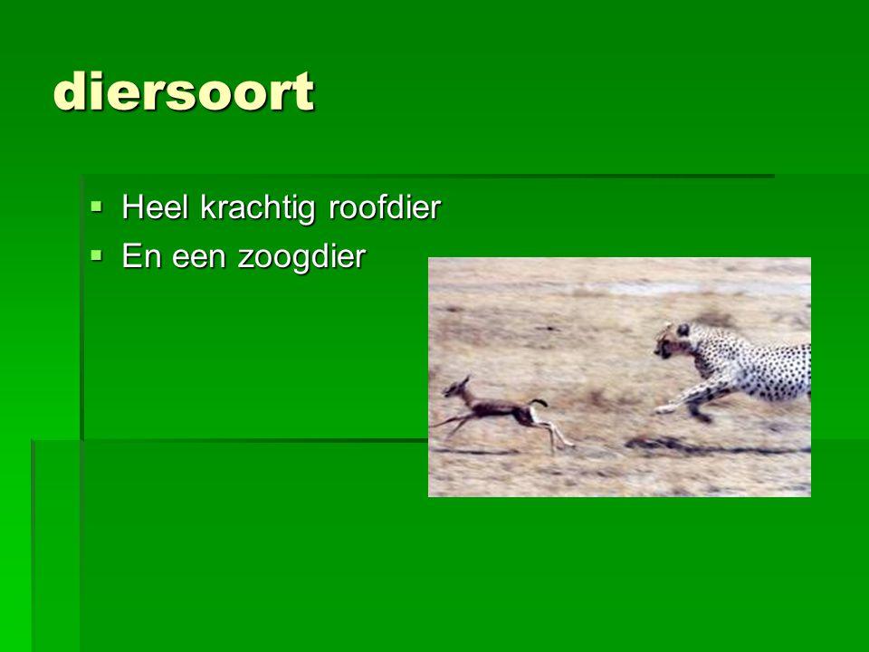 jagen  De heer van de savanne  Snelste landdier ter wereld sprint112km per uur  Jaagt op gazelles en impala's  Gebruikt zijn staart om evenwicht te behouden